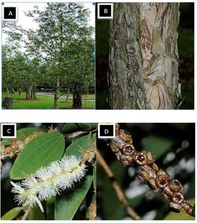 Figure 1: a) whole plant of Gelam tree b) Gelam 'papery' and flaky bark c) leaves of Gelam tree d) brown capsules of Gelam fruits (Burkill 1993)