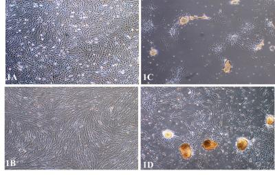 Figure 1: A) Phase-contrast microscopic evaluation on BMSCs culture in media in vitro. Control group; BMSCs adhered fast and formed monolayer within 7 days of culture; B) formed dense monolayer cells after 3 weeks in culture. C) Test group BMSCs formed early cells aggregates at the first week of culture and; D) big cells aggregates can be seen at the end of third week. Magnification x 40.