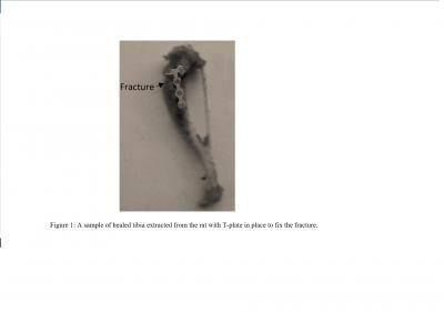 Figure 1: A sample of healed tibia extracted from the rat with T plate in place to fix the fracture.