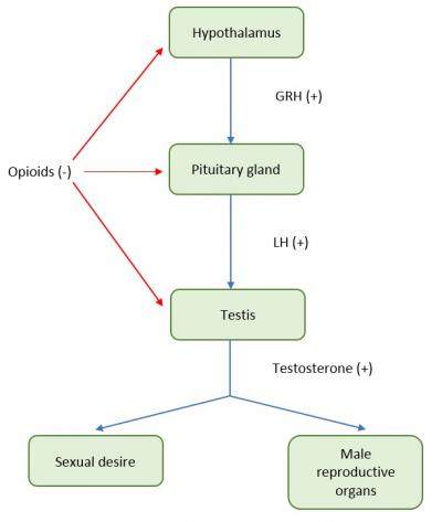 Figure 1: Pathophysiology of opioid-induced sexual dysfunction. Red line indicate the inhibition of opioid on organs. The consequence of opioid inhibition on these organs is low levels of testosterone. Low levels of testosterone may have negative impact on sexual desire and lead to structural and functional alteration of male secondary sexual organ such as seminal vesicles. GRH: gonadotropin-releasing hormone, LH: Luteinizing hormone.