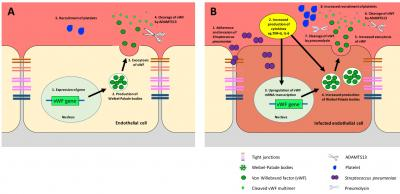 Figure 1: Schematic diagram of vWF expression during a normal condition and pneumococcal infection. (A) Normal expression of vWF. Transcription of vWF gene produces Waibel-Palade bodies (Li et al. 2015), which were secreted into blood circulation by exocytosis. The large structure of vWF protein was cleaved by the proteolytic enzyme called ADAMTS13 into small multimeric fragments (McGrath et al. 2010), which is capable of recruitment and binding of platelets (Deppermann & Kubes 2016). (B) Expres